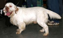 ¿Flat-Coated Retriever, Sussex Spaniel, Clumber Spaniel?