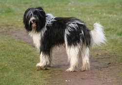 ¿Bobtail, Schapendoes neerlandés, Rough Collie?