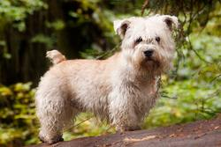 ¿Irish Glen of Imaal Terrier, Scottish Terrier, Yorkshire Terrier?