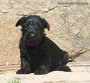 Uno de los cachorros de mediano negro.