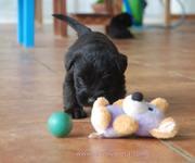 Cachorro de schnauzer mediano negro con 33 días de edad