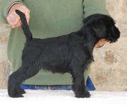 Uno de los cachorros de la camada de mediano negro