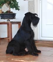Schnauzer mediana negra sentada en la puerta de casa