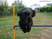 Kettle Da Volvoreta saltando una valla