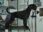 El schnauzer mediano negro Lucky Da Volvoreta con poco más de 10 meses de edad. 07-10-2010