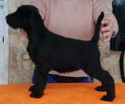 Foto de Lucy Da Volvoreta con 63 días de edad (mediano negro).