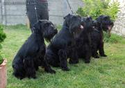Los schnauzers medianos negros. Los cuatro perros sentados.