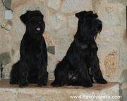 Dos hembras de schnauzer mediano negro