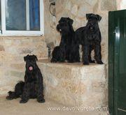 Tres hembras de schnauzer mediano negro
