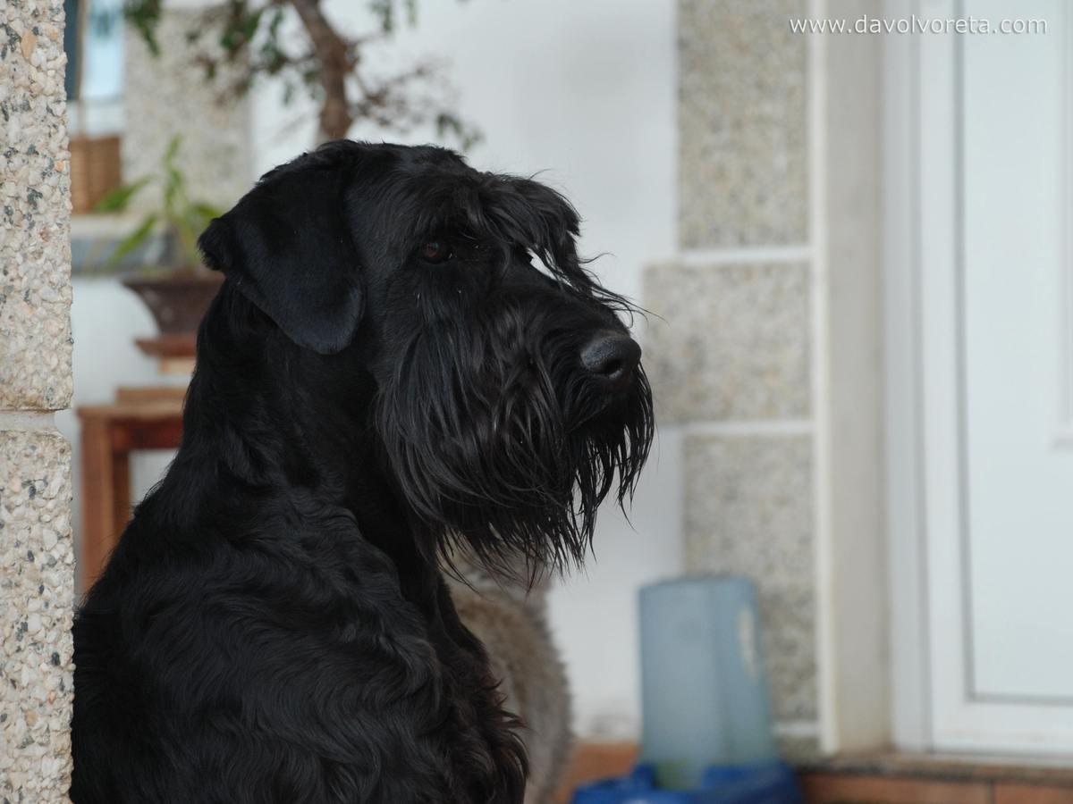 Fotos de schnauzer mediano negro p gina 1 for Puertas perros medianos