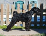 El schnauzer mediano negro You're For Volvoreta Grand Calvera