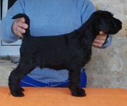 You're for Volvoreta. Grand Calvera. Foto 002. Schnauzer mediano negro. 07-11-2009