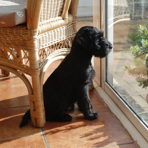 Cachorro de schnauzer mediano negro con 2 meses de edad