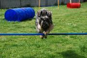 Nelly Da Volvoreta con 10 meses de edad saltando una valla de agility.