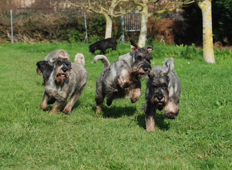 Davolvoreta, criador de perros de raza schnauzer mediano y miniatura sal y pimienta y negro.