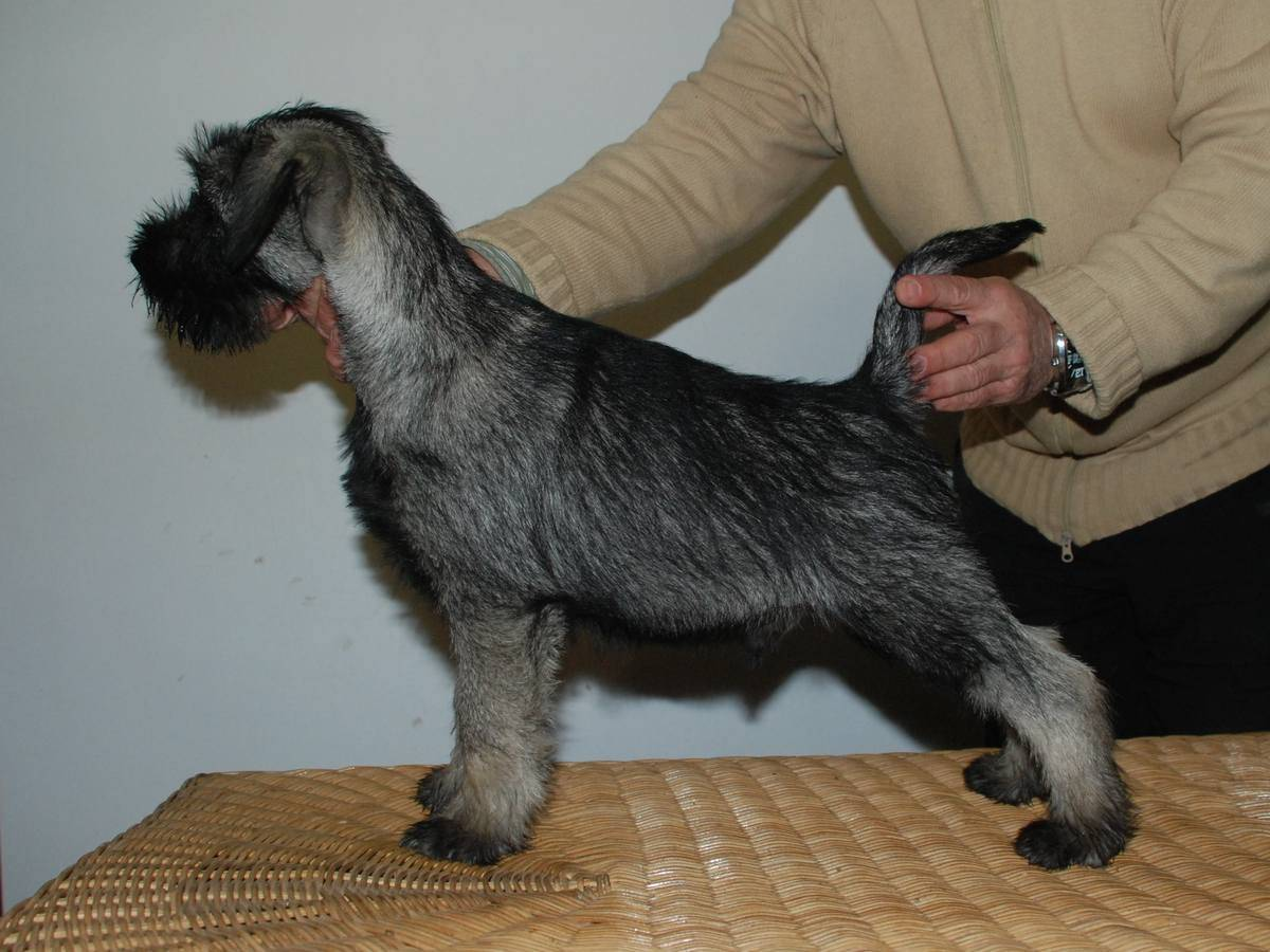 Schnauzer miniatura con 3 meses