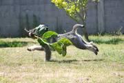 Cachorro de schnauzer mediano sal y pimienta corriendo