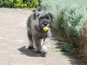 Aproximándose con la pelota el incansable 'Jack'; reflejo de un schnauzer mediano sal y pimienta con 4 meses. 17-05-2010