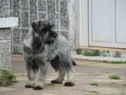 Cachorro de schnauzer mediano sal y pimeinta