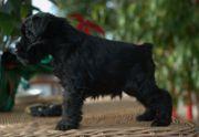 Macho de schnauzer miniatura negro con 40 días de edad