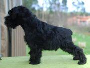 Foto de Vincent Da Volvoreta con 63 días de edad (miniatura negro).