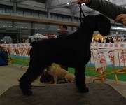 Unai Da Volvoreta en la 55 Exposición Nacional Canina de Galicia.