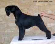 La schnauzer miniatura negra Uxía Da Volvoreta. 01-11-2010