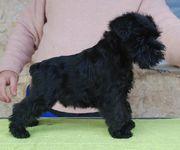 Cachorro de schnauzer miniatura negro: Vincent Da Volvoreta