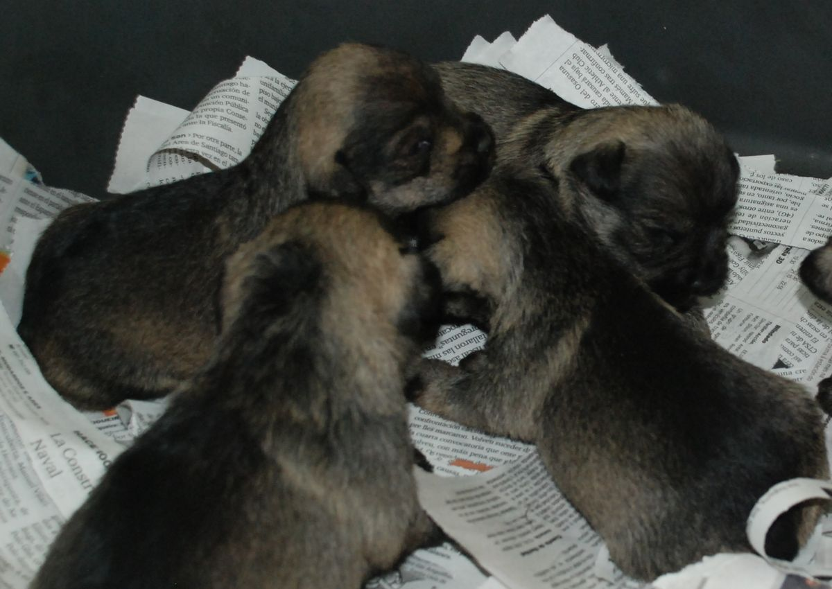 Los cachorros de mini sal y pimienta despertando. 28-12-2009