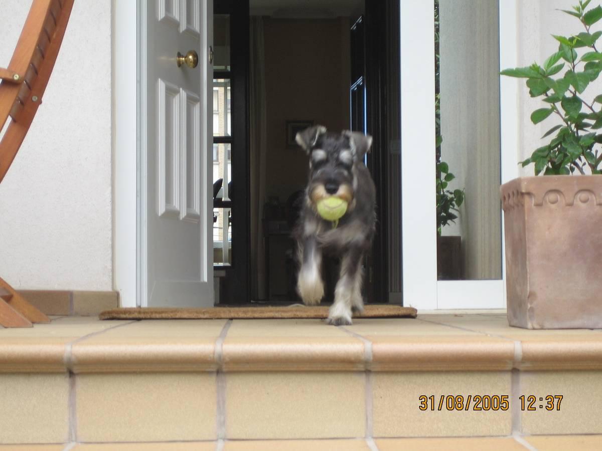 Fotos de schnauzers medianos y miniaturas for Puertas perros medianos